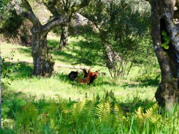 Vrij rondlopende kippen