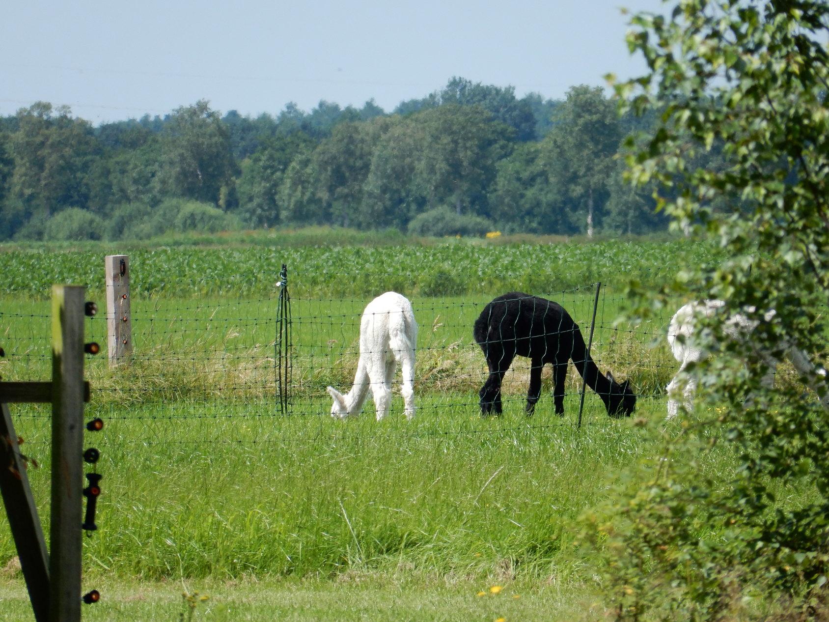 Supertrips - Zonneveld Alpaca's