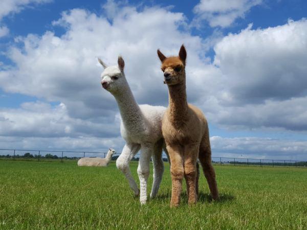 Overnachten-met-alpaca's-in-drenthe-zonneveld1