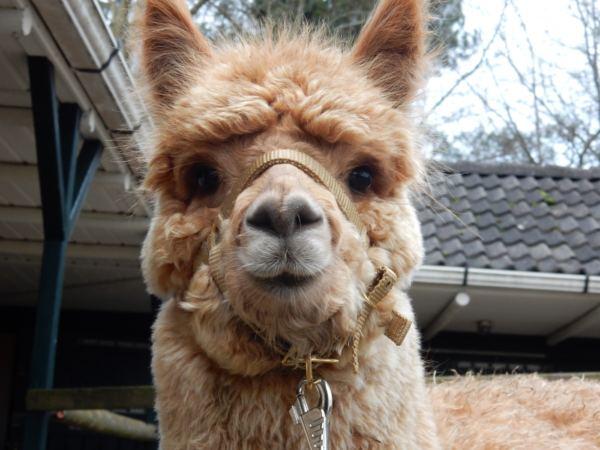 Overnachten-met-alpaca's-in-drenthe-zonneveld14