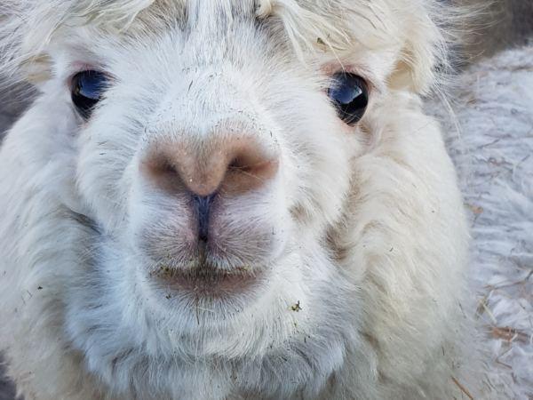 Overnachten-met-alpaca's-in-drenthe-zonneveld2
