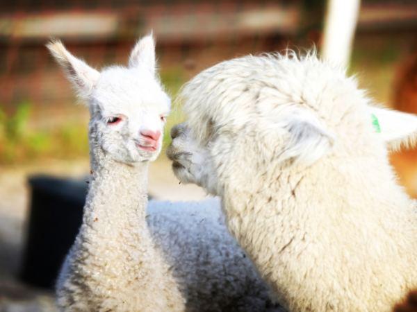 Overnachten-met-alpaca's-in-drenthe-zonneveld27