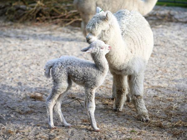 Overnachten-met-alpaca's-in-drenthe-zonneveld28