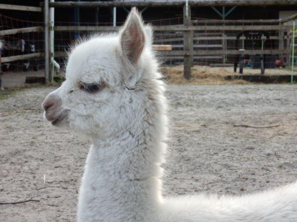 Overnachten-met-alpaca's-in-drenthe-zonneveld9