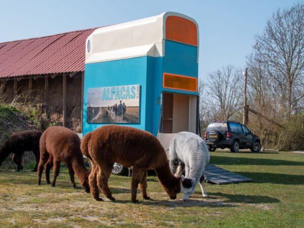 alpaca-on-wheelz-1