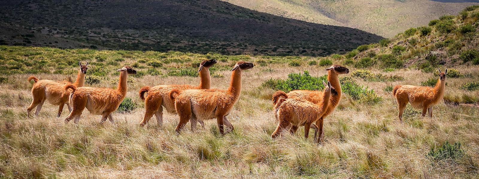 Supertrips - Alpaca on Wheelzzz  – Aan de Waterspiegel